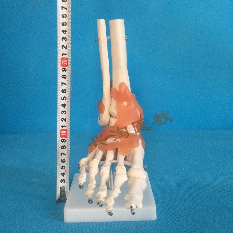 Modelo de esqueleto humano 6 unids conjunta esqueleto hombro, codo ...