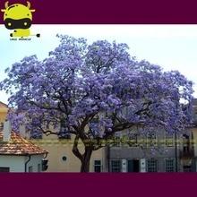 100% Genuine Giant Paulownia Seeds, 100 Seeds, Royal Empress Tree Seeds Outdoor Plants Flower Seeds Home Garden Plant Pot