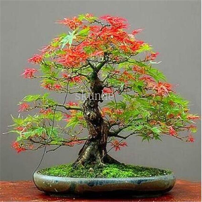20pcs bonsai blue maple tree bonsai  tree plants. rare sky blue japanese maple bonsai Balcony plants for home garden 3