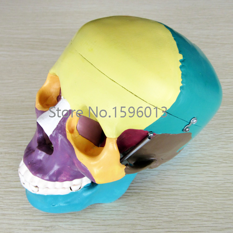 Life-Size Skull with Colored Bones Model,  Human Skull  anatomy Model medical science colored muscle origins and insertions in half head life size plastic skull model