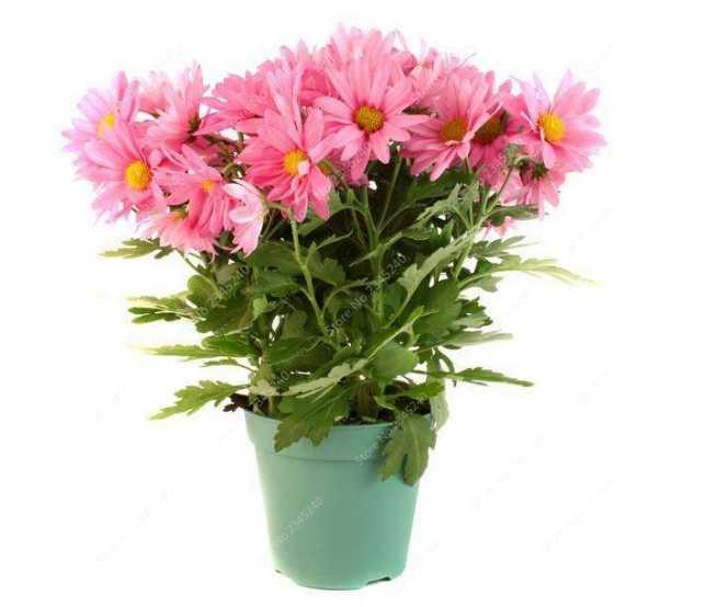 Promoção! 200 Rainbow pçs/saco Jardim Margarida Mista Crisântemo Bonsai Flor Flore Natural Belos Vasos de Plantas para Casa