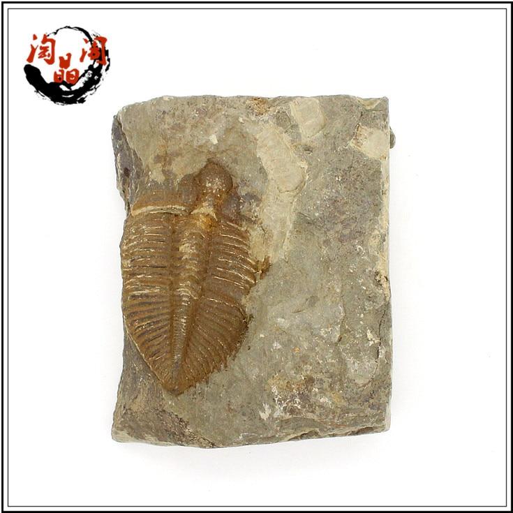 100% fine fidelity natural fine crown insect paleontology fossil trilobite animal specimens stone