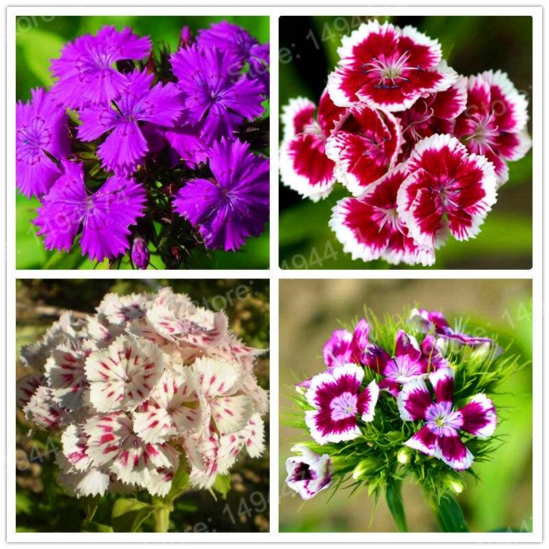 200 pçs/saco América Dianthus Sementes Doce William Bonsai planta Sementes de Flores Coloridas bela flor sementes para casa jardim