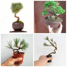 50 pcs/bag Miniature pine tree bonsai tree plants indoor woody plants, pine tree perennial plant for miniature garden(China)