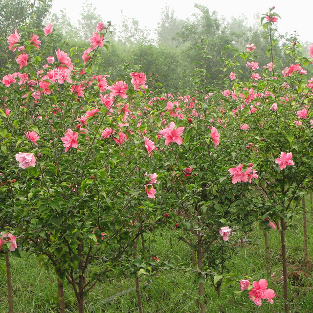 potted plant tree seeds freshly collected rose of sharon shrub althea seeds bonsai home u0026 garden