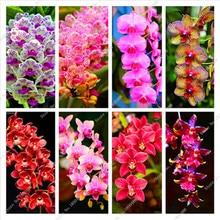 Big Promotion! 100pcs Cymbidium Orchids, Japanese Orchid Bonsai Flower Seeds, Mini Orchid Plant for Home Garden