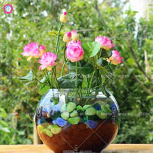 2017 hot!!!5pcs/bag bowl lotus water lily seeds rare Aquatic flower seeds Perennial Plant bonsai for home garden free shipping