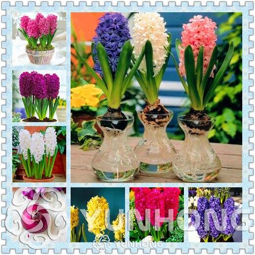 True hyacinth bulbswater hyacinth flower bulbsperennial flower true hyacinth bulbswater hyacinth flower bulbsperennial flower bulbsbonsai pot for mightylinksfo