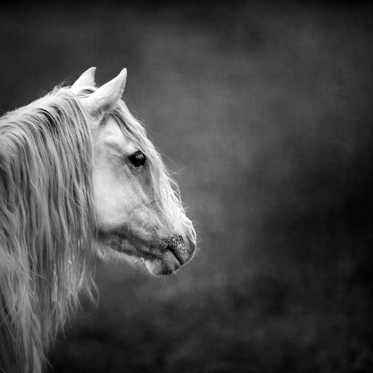 photographic picture print on canvas black and white pictures animals pictures elegant horse so. Black Bedroom Furniture Sets. Home Design Ideas