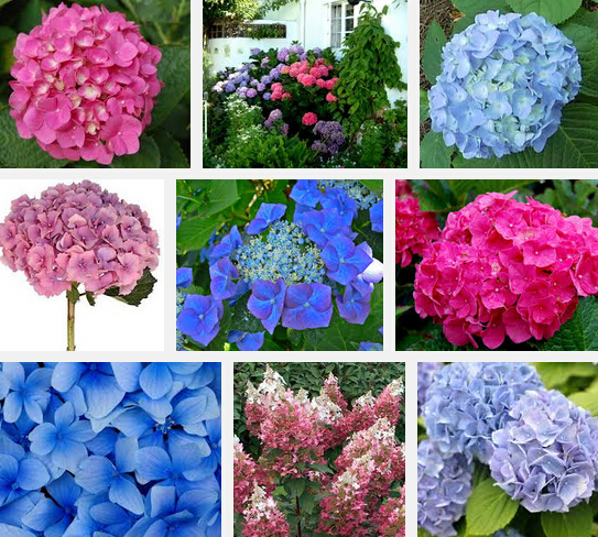 Garden Plant  Free shipping 9 kind rare Flower seeds 100/bag purple Hydrangea seeds m macrocephalum seed flower pot planters Bon
