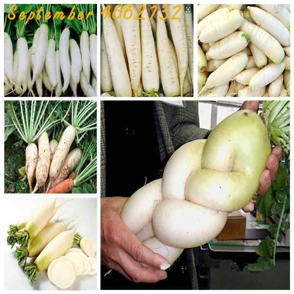 On Sale!100pcs White Radish bonsai, Japanese Horseradish Organic Vegetable Delicious nutritious DIY Home Garden Plants Bonsai