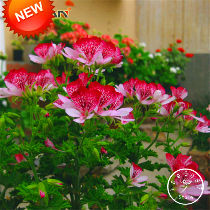 New Fresh Seeds 20 PCS/Lot Red Butterfly Univalve Geranium Seeds Perennial Flower Seeds Pelargonium Peltatum Seeds,#WH3TX6