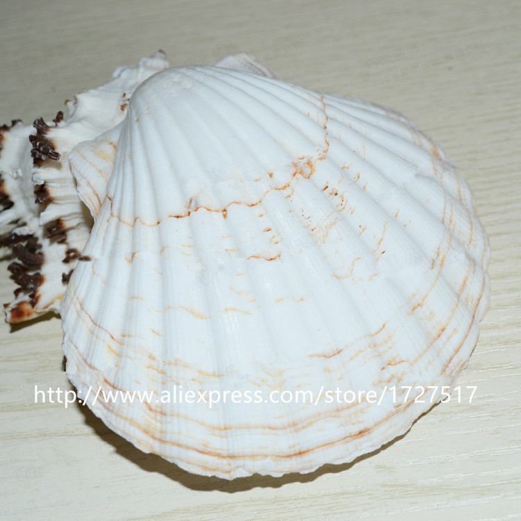Large White Scallop Shell 9-12cm Home Decor With Floor Aquarium Diy Decorative