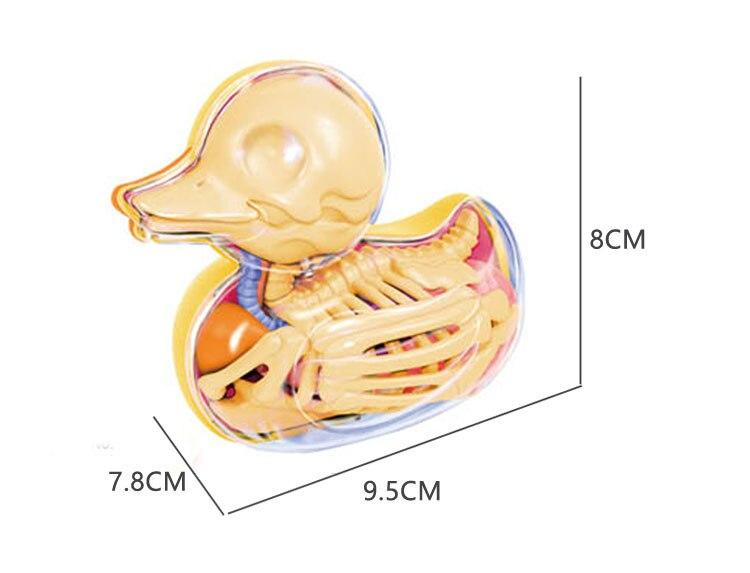 Canard Perspective squelette modèle modèle animal livraison gratuite