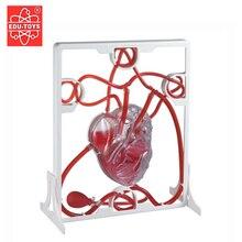 Сердечно-сосудистых модель циркуляции крови