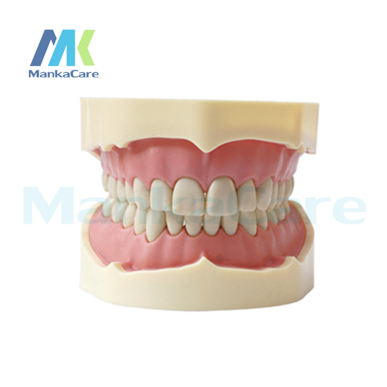 Manka Care - BF Type Study Model/28 pcs Tooth/Soft Gum/Screw fixed/Without Articulator Oral Model Teeth Tooth Model