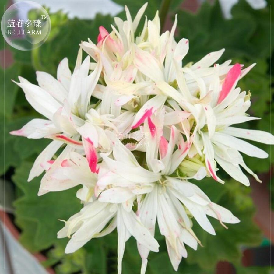 Bellfarm Geranium White Light Pink Double Petals Bonsai Flowers