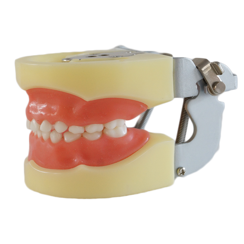 Tooth Care  Dental Teaching Study Model Adult Standard Typodont Demonstration Soft Gum FE Articulator 1 pcs dental standard teeth model teach study
