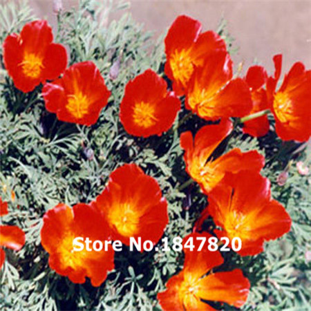 Buy Bulk Poppy Seeds And Get Free Shipping On Aliexpress