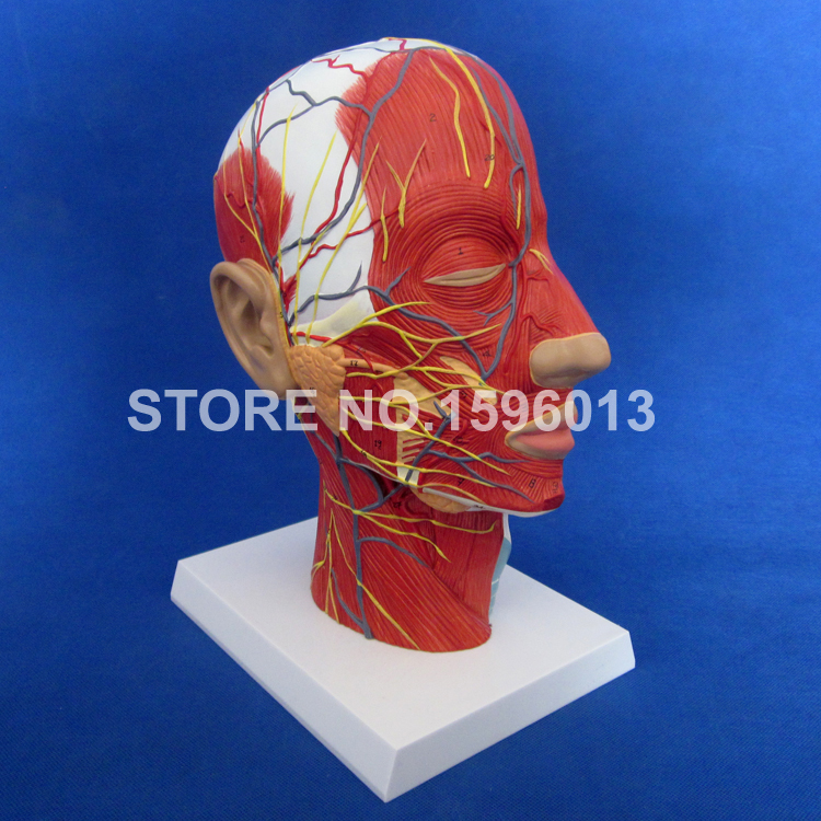 Economic Half Head with Vessels Model, Anatomical Head Model with Brain,Nerves,Vascular Muscles and Vessels iso detailed anatomical model of human head with vessels and nerves