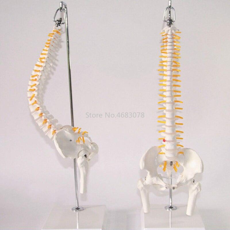 45 cm 1:1 modèle de squelette humain adulte Flexible de colonne vertébrale de courbure lombaire avec le modèle de bassin de disque rachidien utilisé pour le Massage, le yoga Etc.