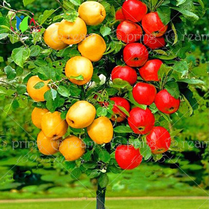 30 pcs Bonsai Apple Tree Seeds rare fruit bonsai tree-- indoor plant for home garden free shipping via hongkong post airmail