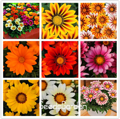 Big Promotion!Gazania seeds multicolor mixed Seed beautiful gazania Flower seeds,  100pcs/Package ,#7M32WX
