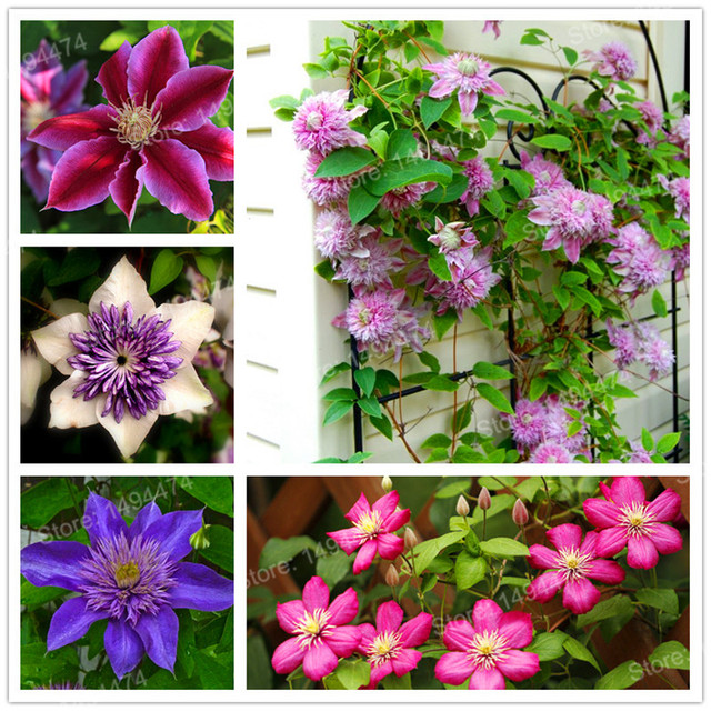 100pcsbag mixed color clematis seeds clematis hybridas hanging 100pcsbag mixed color clematis seeds clematis hybridas hanging bonsai flowers perennial flowers climbing plants mightylinksfo