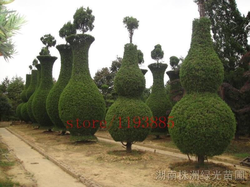 100 PCS cypress tree seeds <font><b>Roads</b></font> <font><b>Green</b></font> Plants Vertical Beautiful tree seeds easy shape