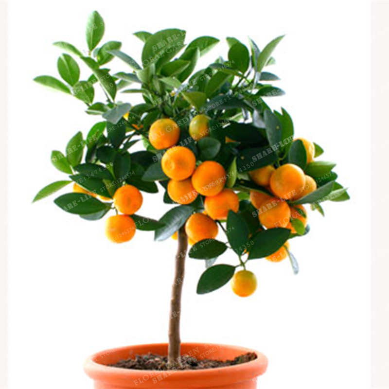 1180A Worlds Sweetest Kumquat Meiwa 5 seedsVery