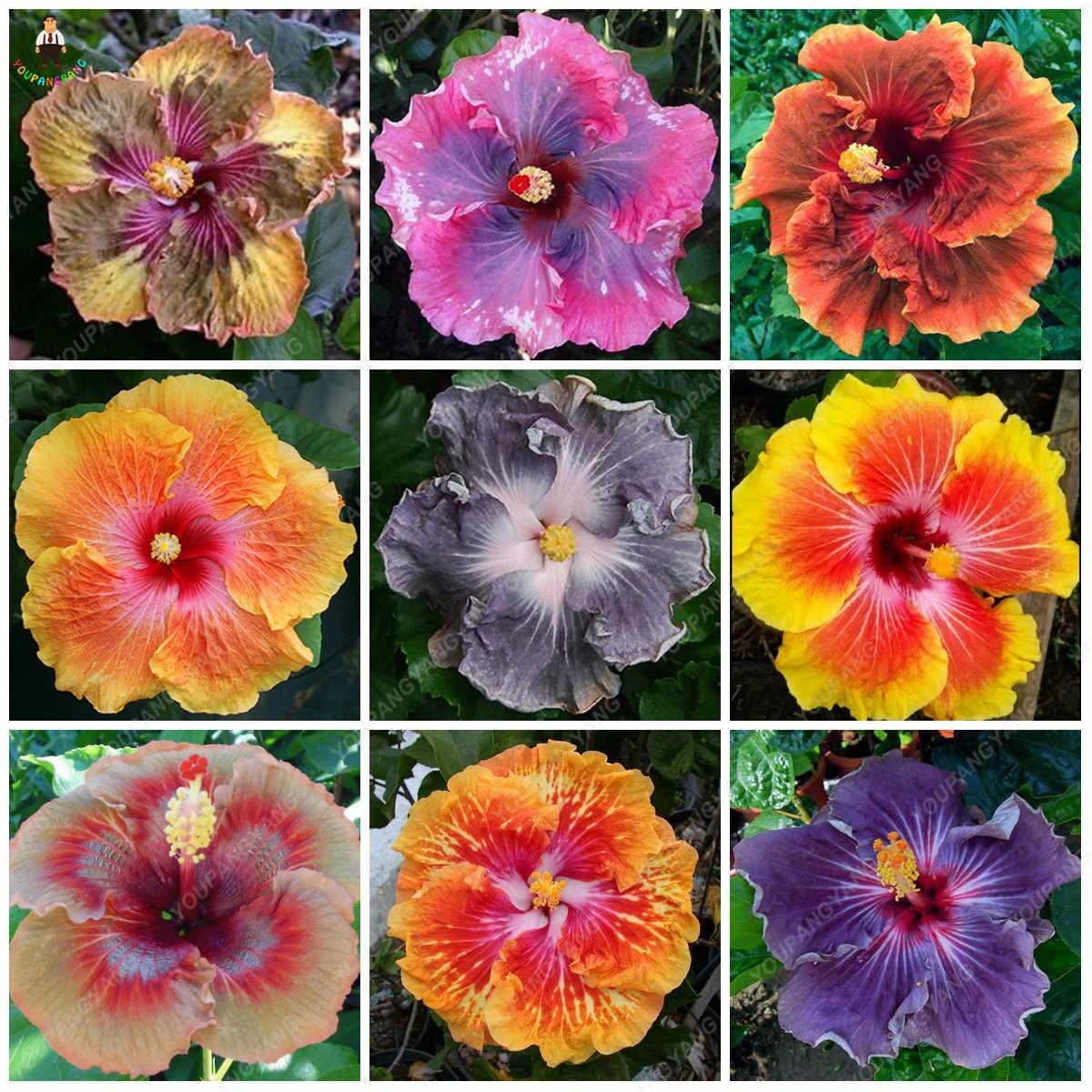 200pcs Rare Hibiscus Plants Beautiful Rainbow Hibiscus Garden Flowers Plantas Para Jardin Bonsai Tree For Garden Decoration