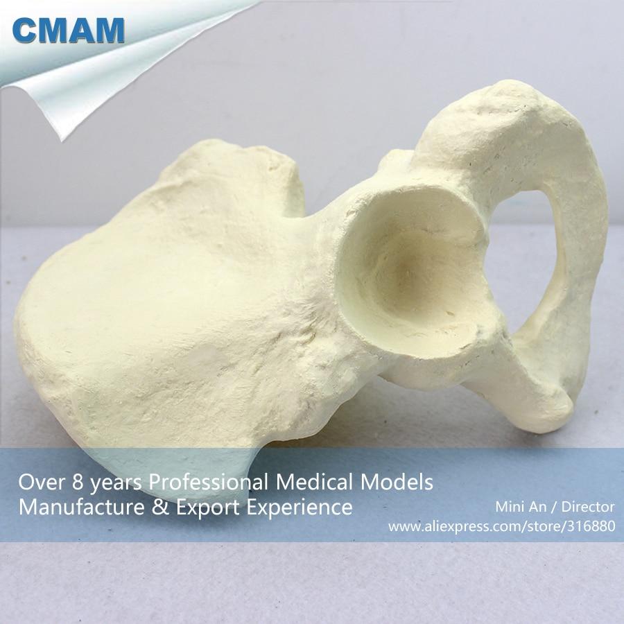 12316 CMAM-TF05 Simulation Human Ilium Skeleton Anatomy Model