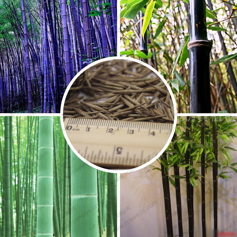 purple timor bamboo seeds easy to grow in the garden black bamboo seeds 50 pcs - Growing Bamboo