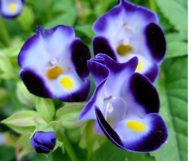 Semillas de orquídeas mariposa, plantas de flor de lis fleur,de,lis phalaenopsis