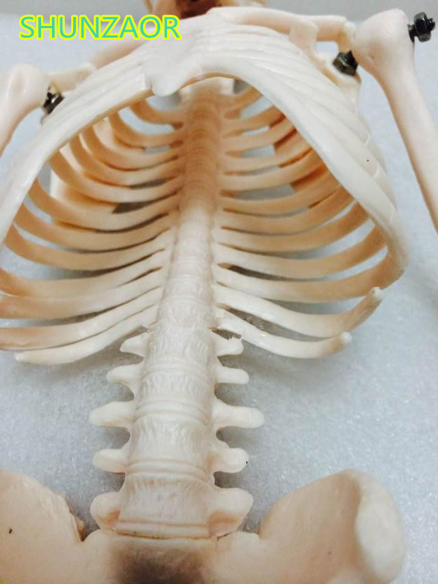 Fexible 45CM Human Anatomical Anatomy Skelet Model Medical Wholesale - School en educatieve benodigdheden - Foto 4