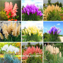 Big Sale!Pampas Grass Seed Patio and Garden Potted Ornamental Plants New Flowers Cortaderia Grass Seed 50 Pcs/Pack,#RASO71