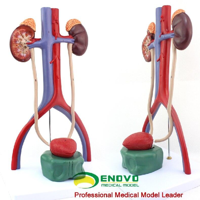 Human urothelial model renal ureter bladder urethra anatomical model DOI: human anatomical male genital urinary pelvic system dissect medical organ model school hospital