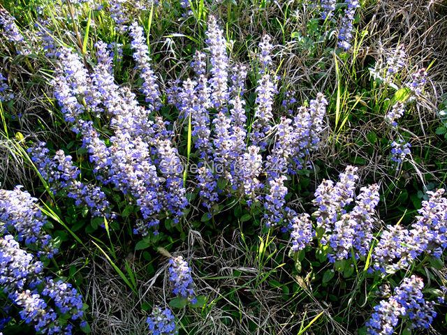 5 seeds blue buglecarpetweedbugleweedajuga reptansajuga 5 seeds blue buglecarpetweedbugleweedajuga reptansajuga groundcover perennial herb mightylinksfo