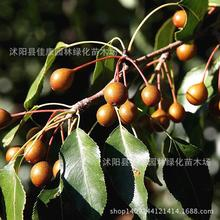 Fruit Seeds Wholesale Authentic Wild Pear Pyrus Malus Seed Soil Pear Seed Grafting Pears With Real Locations 0.2kg/lot