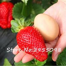 1000 PCS Giant Sweet Strawberry Seeds