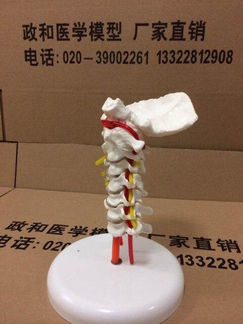 Cervical spine model with neck artery occipital bone disc nerve system medical human skeleton anatomical model
