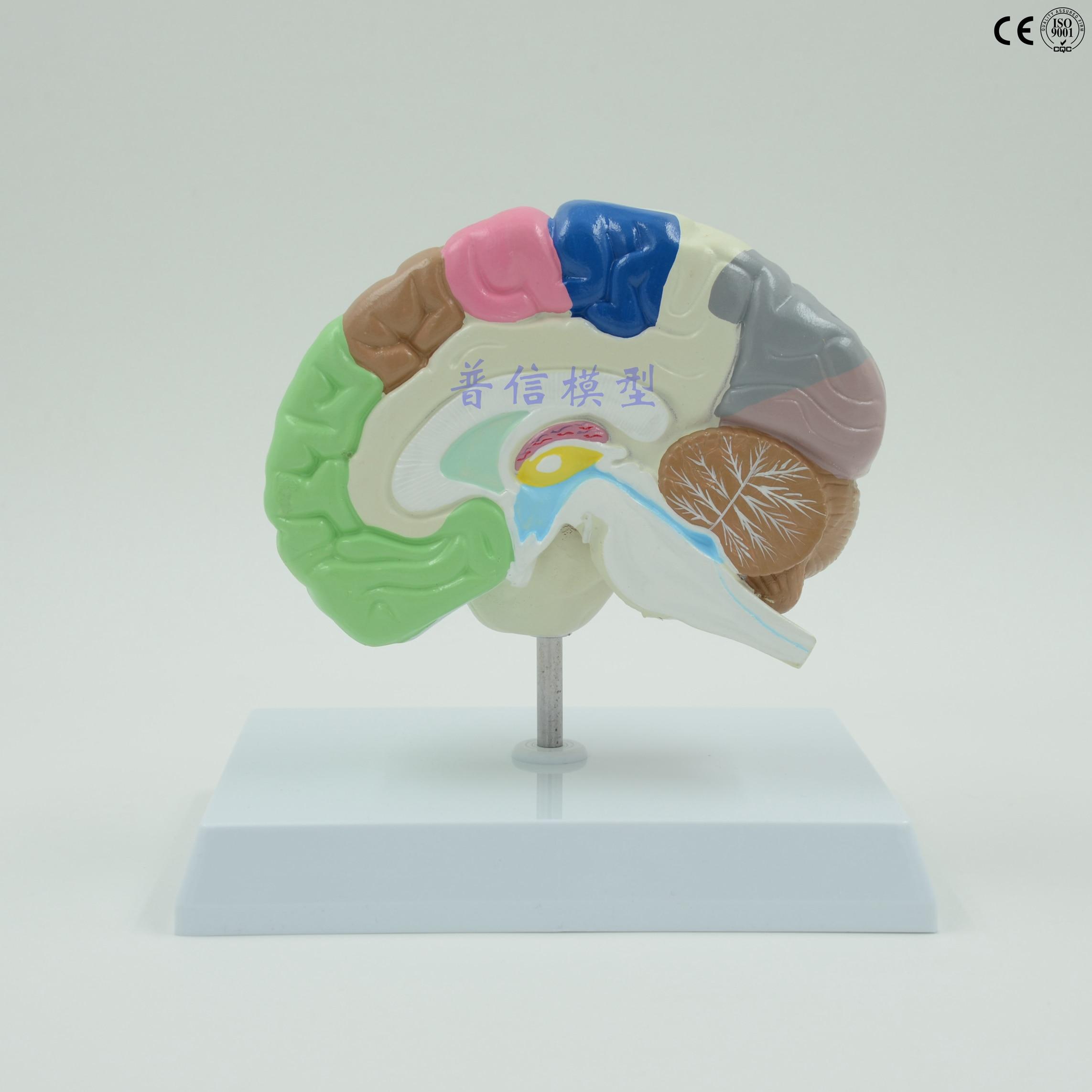 Brain model Human right hemisphere functional area model brain ...