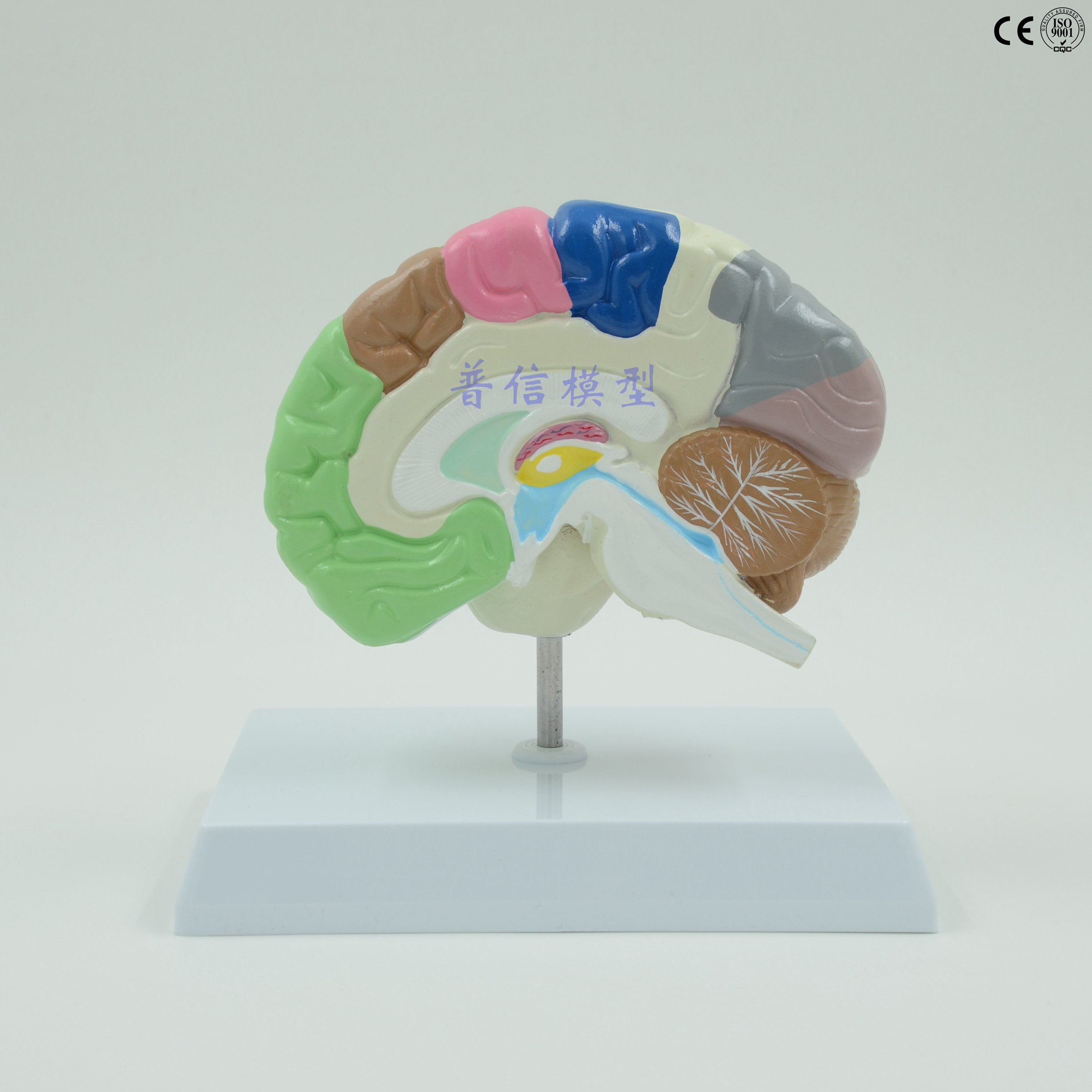 Brain modell Menschlichen rechten hemisphäre funktionsbereich modell ...