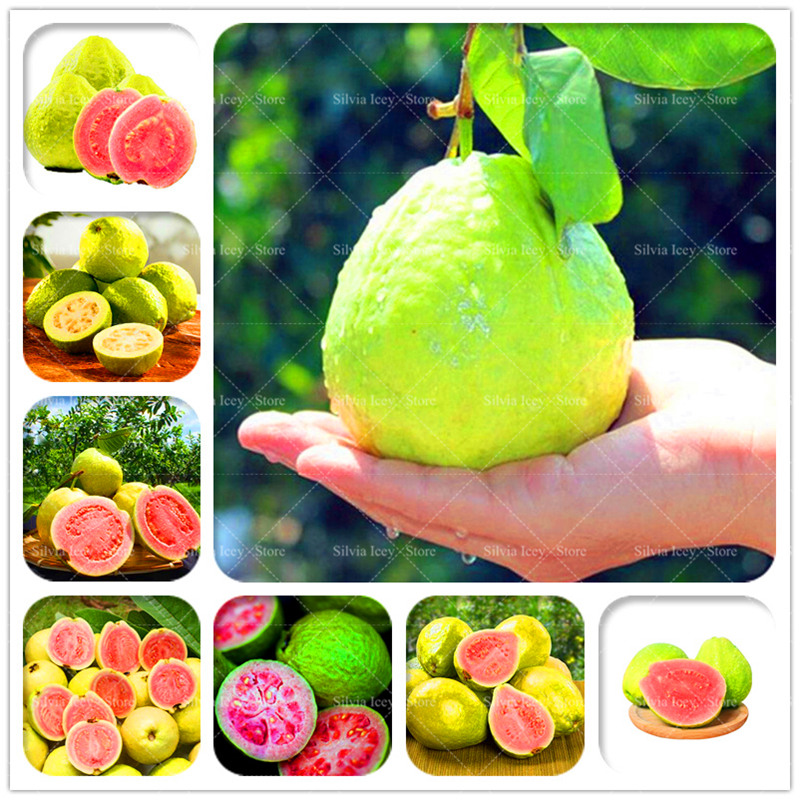 30 Pcsbag Guava Bonsai Plants Delicious Tropical Dwarf Fruit Potted Non Transgenic Plants Bonsai Fruit Tree For Home Garden