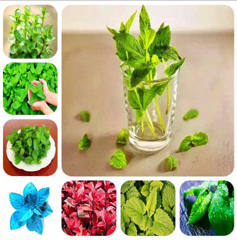 Promotion! 100pcs/bag Mint potted herb edible Plants in bonsai or pot Organic Plants vegetables for home and garden decoration