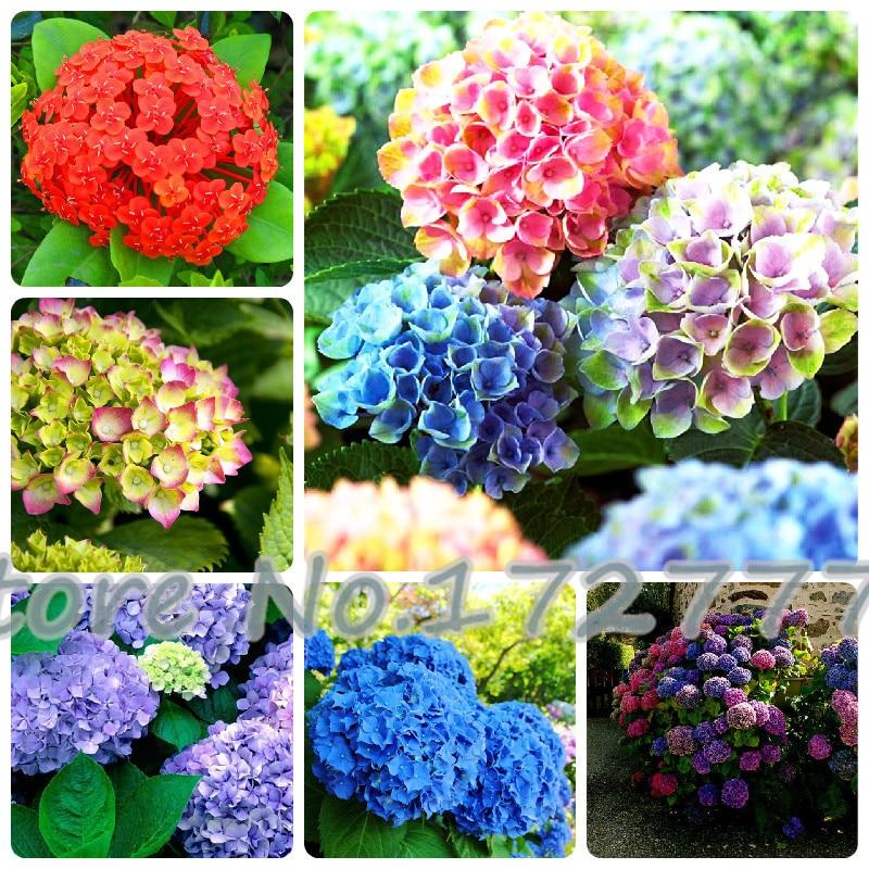 Hydrangea semillas compra lotes baratos de hydrangea - Semillas de hortensias ...