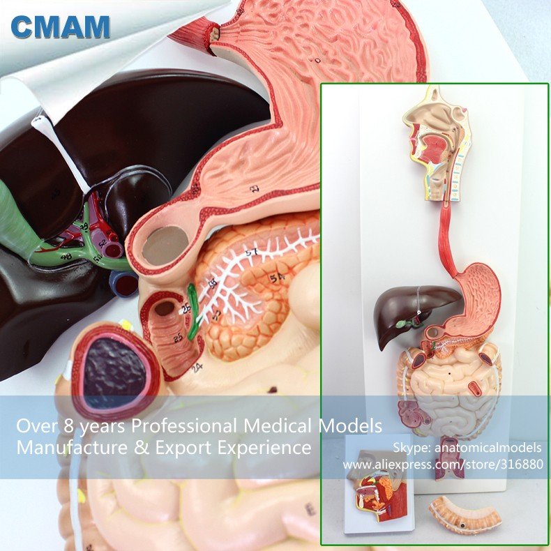 CMAM-VISCERA11 Human Digestive System in Gastric Coronal Profile Model, Medical Science Educational Teaching Anatomical Models designing of an information retrieval system in veterinary science