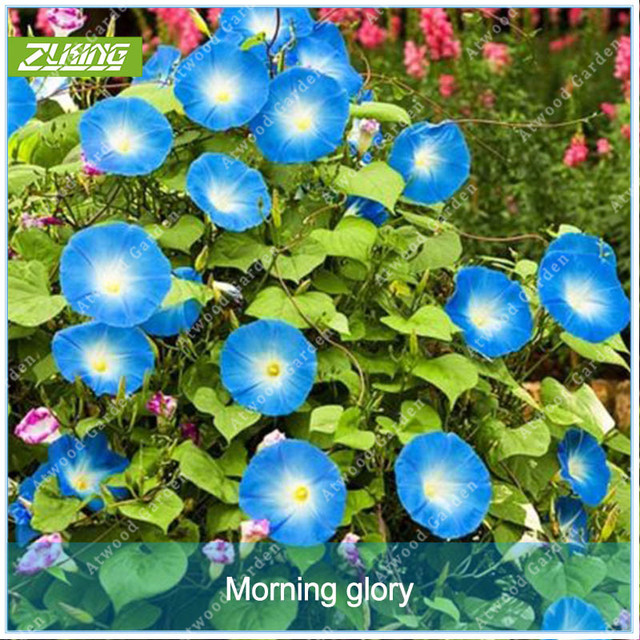 Us 099 Zlking 100pcs Blue Morning Glory Flower Bonsai Exotic Plant Species Beautiful Natural Flowers Fragrant Perennial Plants In Bonsai From Home