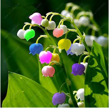 100 pcs/bag Lily of the Valley Flower Seeds , Bell Orchid Seeds,Rich Aroma ,Bonsai Balcony Flower for Home Potted Plants(China)