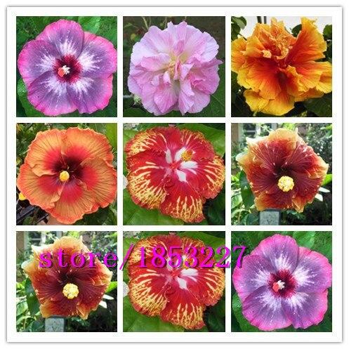 hibiscus vente-achetez des lots à petit prix hibiscus vente en